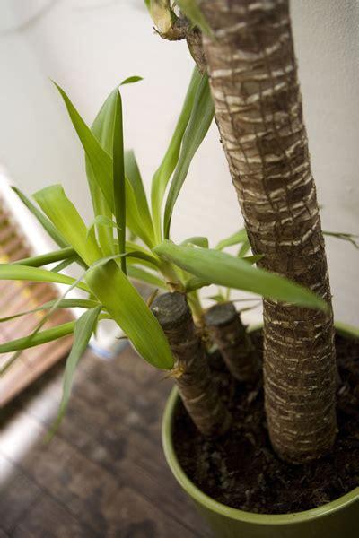 yucca plante interieur ou exterieur yucca yucca elephantipes rempotage entretien arrosage