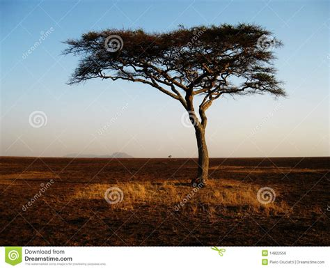 Lonely African Tree In The Serengeti Stock Photo Image