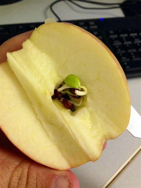 des p 233 pins germent 224 l int 233 rieur de la pomme