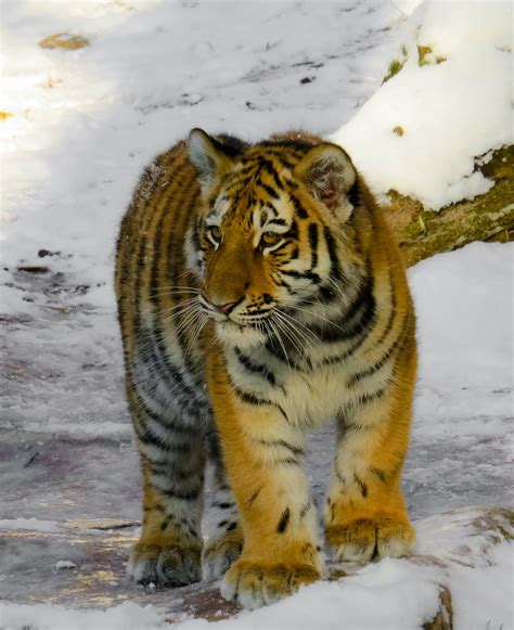 Tiger Photo by Free Photo Bengal Tiger Roar Stare Tiger Free