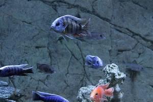 Lebendfutter Für Fische : das aquarium bildergalerie fische fischbecken ~ Watch28wear.com Haus und Dekorationen