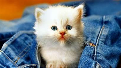 Kitten Pocket Animal