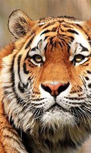 Tiger 4k Ultra HD Wallpaper | Background Image | 4432x3056