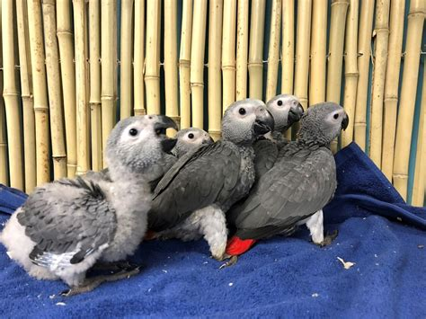 african grey congo parrot 157962 for sale in chicago il