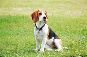 bett sofa der beagle ein familienhund issn 39 rüde hunde news dogstyle