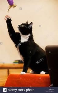 Spielzeug Auf Englisch : tuxedo katze bicolor hauskatze mit einem wei en und schwarzen mantel spielt mit spielzeug im ~ Orissabook.com Haus und Dekorationen