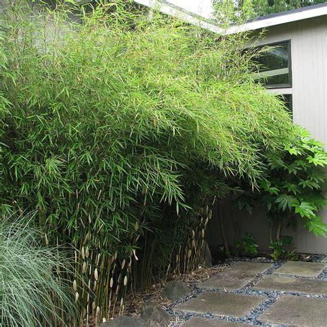 fargesia rufa en pot bamboo fargesia robusta emerald coast growers