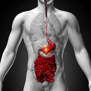 Stomach    Guts    Small Interstine