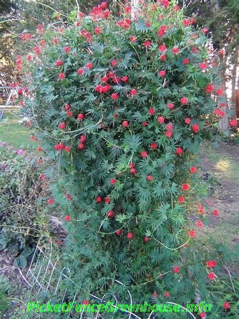 cardinal climber cardinal climber vine picket fence greenhouse gardens dianemummvideos
