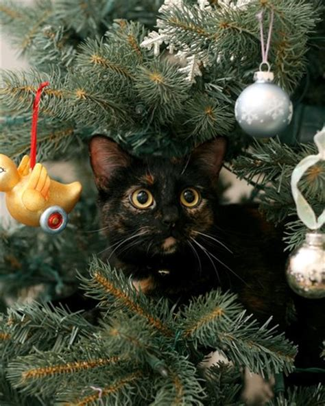 cat first seen christmas tree exclusively cats veterinary hospital on the day of my true gave to