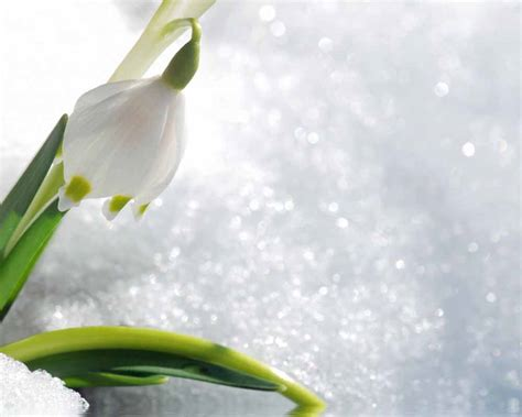 what is the fragrance of snowdrops
