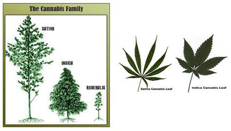 graine de cannabis femelle interieur 28 images quand r 233 colter les t 234 tes de cannabis