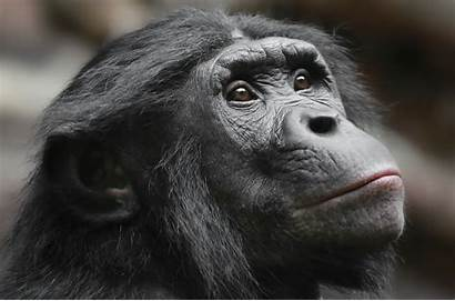 Apes Animals Face Mammals Ape Animal Wallpapers