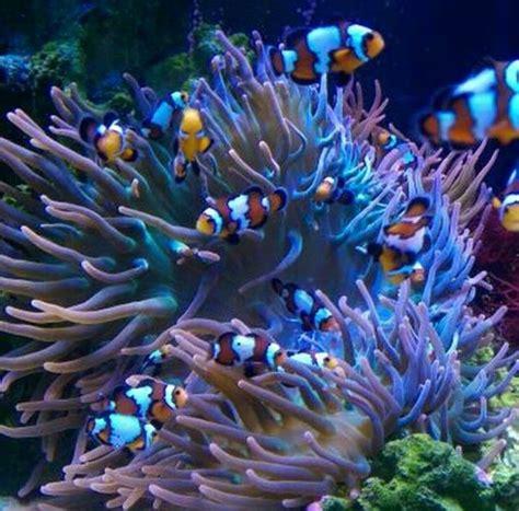bernard l hermite aquarium recifal 1313 best images about saltwater fish sur bernard l hermite aquarium marin et