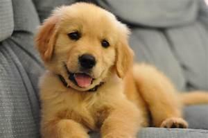 cutest golden retriever baby pic. | puppy | Pinterest ...