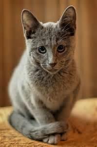 Russian Blue Cat Kittens
