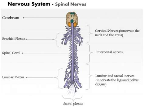 0514 spinal nerves nervous system for powerpoint presentation graphics