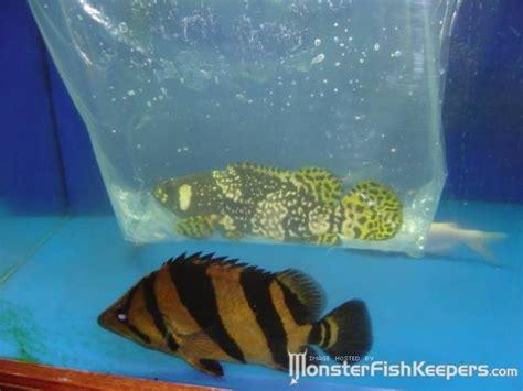 grouper bee freshwater bubble fresh famous water
