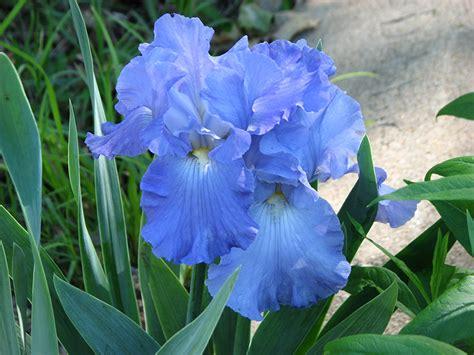 fonds decran iris en gros plan bleu ciel fleurs