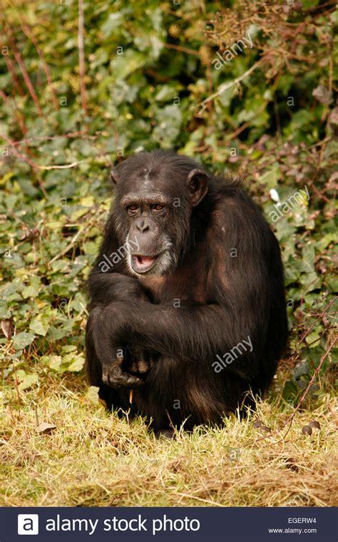 chimpanzee smiling stock chimpanzee smiling stock alamy chimp laughing stock chimp laughing stock alamy