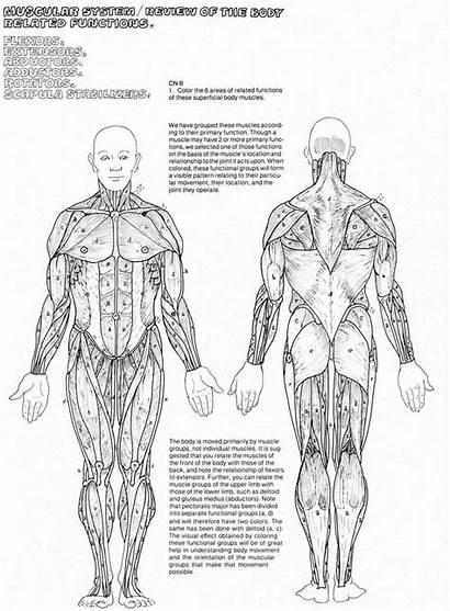 Muscle Coloring Muscular Anatomy Muscles System Human