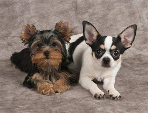 Chorkie Chihuahua Yorkie Mix Breed Review And