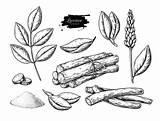 Licorice Foglie Piante Fiori Radici Licenza Mescolatura Ramificazioni Liquorice Herbal Polvere Macinata Filo Mazzo Botanica Raíces Certificado Molido Ramas Polvo sketch template