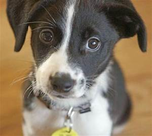 Border Collie / Jack Russell mix puppy   Pups   Pinterest