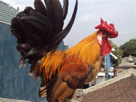 toko bagong farm ayam kate blasteran kate batik