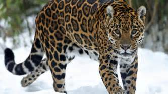 Jaguar Backgrounds by Show Me A Picture Of A Jaguar Hd Wallpapers For Free