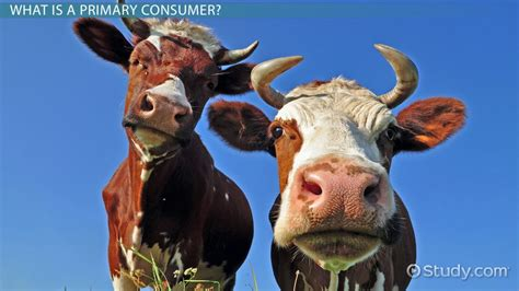 primary consumers definition examples cows does animals cow animal methane cla cardio endurance improve power plant study curious shutterstock project