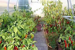 Pflanzen Für Gewächshaus : chilis anbauen chili barbecue ~ Whattoseeinmadrid.com Haus und Dekorationen