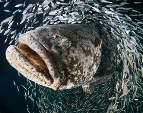 miami university underwater grouper goliath fish florida contest laura rock courtesy giant jupiter marine winning published amateur award