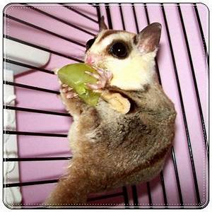 555 best images about Sugar Gliders on Pinterest | Sugar ...
