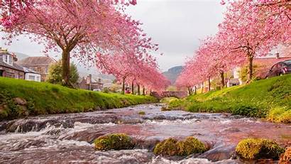 Cherry Blossom Laptop Tree Wallpaperaccess Wallpapers Backgrounds