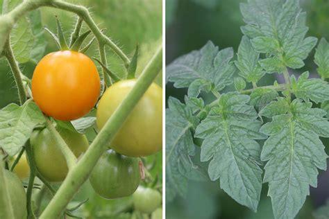 tomaten in der wohnung züchten tomaten im winter in der wohnung z 252 chten so ernten sie ganzj 228 hrig tomaten de