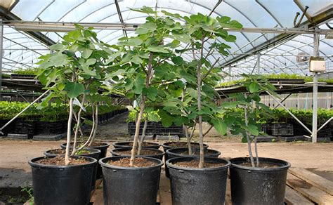 fig trees in pots apartment plants fruit trees top garden fruit tree plants