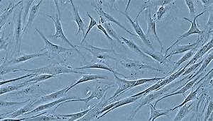 Human Follicle Dermal Papilla Cells  Hfdpc