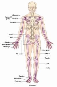 Appendicular Skeleton Diagram