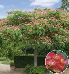 le poivre de tasmanie tasmannia lanceolata est un With amenagement jardin avec piscine 14 albizia plantation taille et entretien