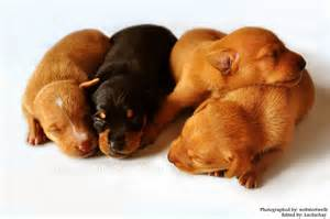 Minicher Pincher Puppies