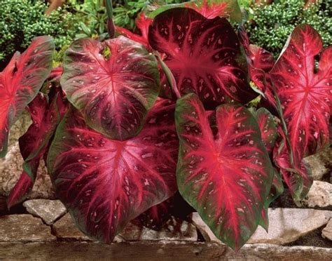 pengertian tanaman hias perlu diketahui bibitbungacom