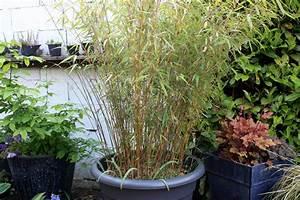 Bambous En Pot : entretien des bambous jardin des bambous ~ Melissatoandfro.com Idées de Décoration