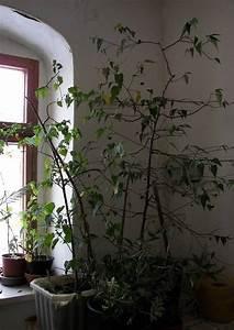 Pflanzen Im Treppenhaus : abutilon nach r ckschnitt ~ Orissabook.com Haus und Dekorationen