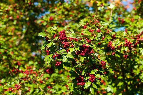 strauch mit roten beeren rote beeren am baum gr 252 ner busch mit stockfoto colourbox