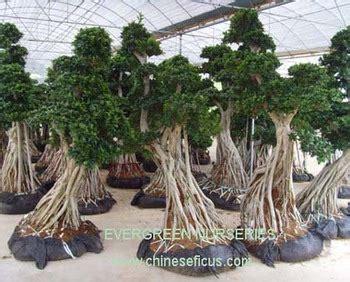 ficus microcarpaficus bonsai tree buy ficus microcarpa