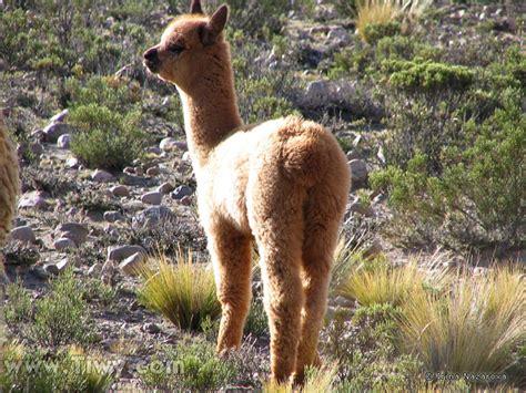 Tiwy.com - Baby-alpaca