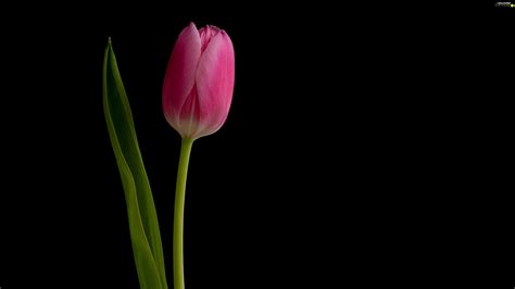 Pink Tulip Backgrounds by Pink Black Background Tulip For Phone Wallpapers
