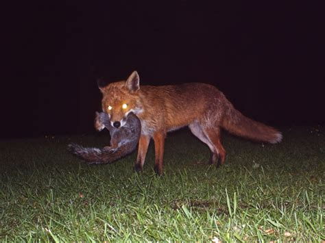 what do foxes eat trogtrogblog what do foxes like to eat