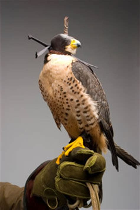 Falconry in Scotland | Scottish Game & Country Sports
